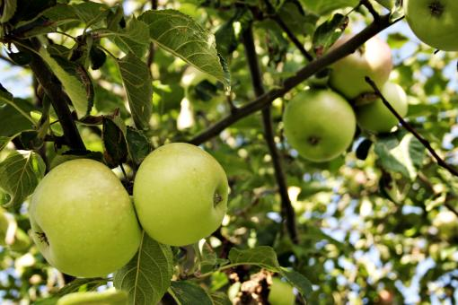Free Stock Photo of Green apples in tree