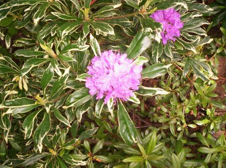 Free Stock Photo of Varigated Rhododendron