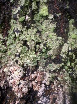 Free Stock Photo of Lichen on West Facing Silver Birch 1