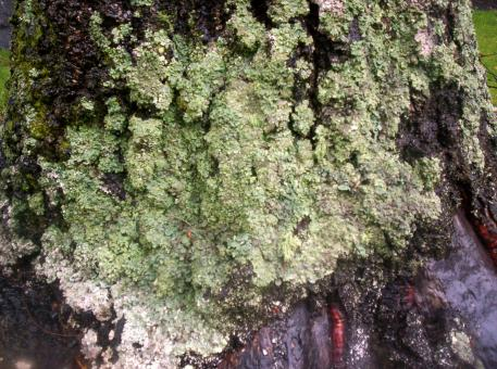 Free Stock Photo of Lichen on West Facing Silver Birch 2