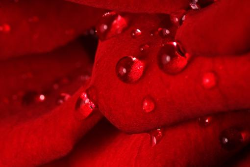 Free Stock Photo of Rose Drops