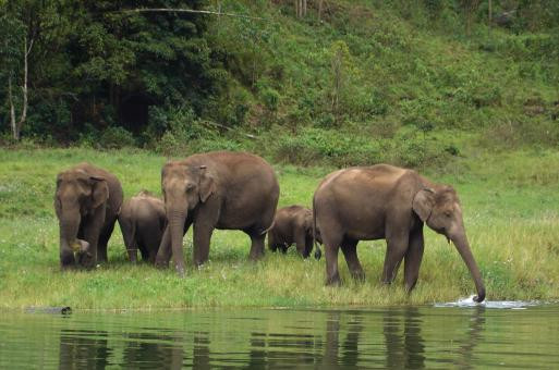 Free Stock Photo of Herd of thirsty elephants