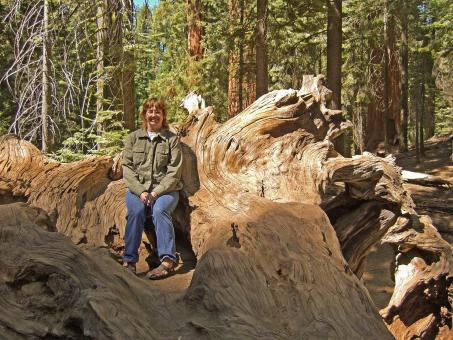 Free Stock Photo of Sitting on a Stump in the Giant Sequoias