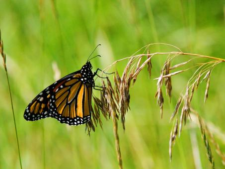Free Stock Photo of Monarch Butterfly