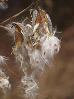 Free Stock Photo of Fall milkweed