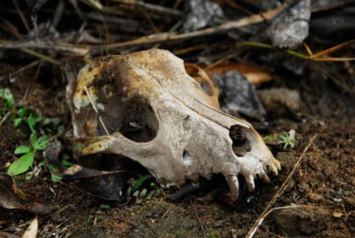 Free Stock Photo of Animal Skull in the Wild