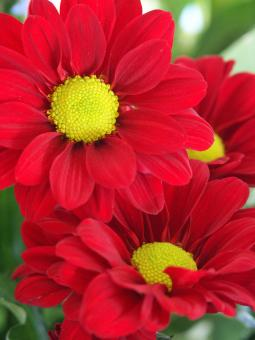 Free Stock Photo of 3 red flowers