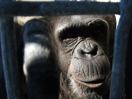 Free Stock Photo of Retired Chimp