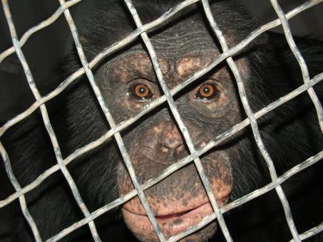 Free Stock Photo of Huey the Chimp