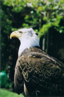 Free Stock Photo of Eagle