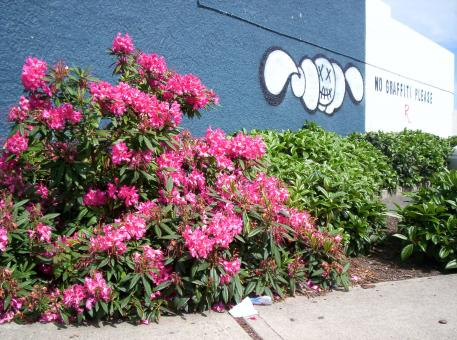 Free Stock Photo of Rhododendron verses grafitti
