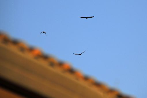 Free Stock Photo of Crow Flyover