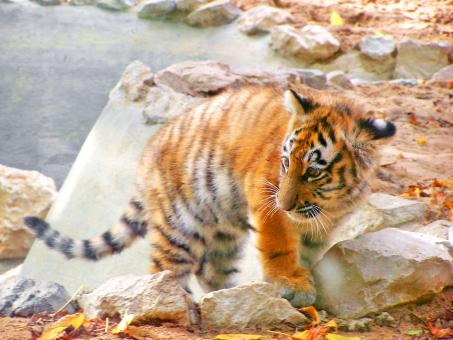 Free Stock Photo of Baby Siberian Tiger