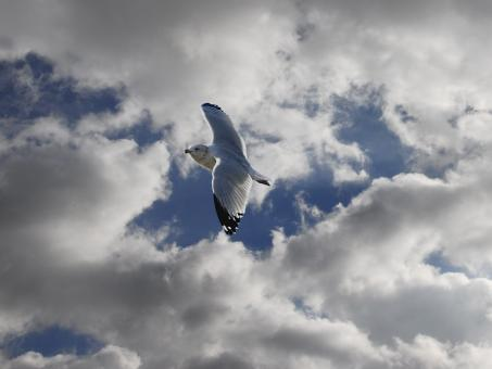 Free Stock Photo of Seagull in Free Flight