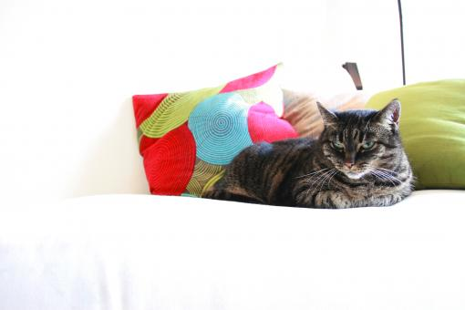 Free Stock Photo of Pillow's Cat