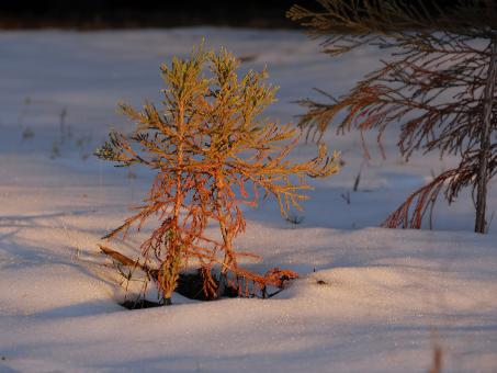 Free Stock Photo of Baby Pine in Snow at Dusk in Sequoia Nat