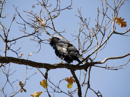 Free Stock Photo of Wild Crow in Sequoia National Park