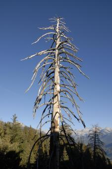 Free Stock Photo of Lifeless Pine in Sequoia National Park