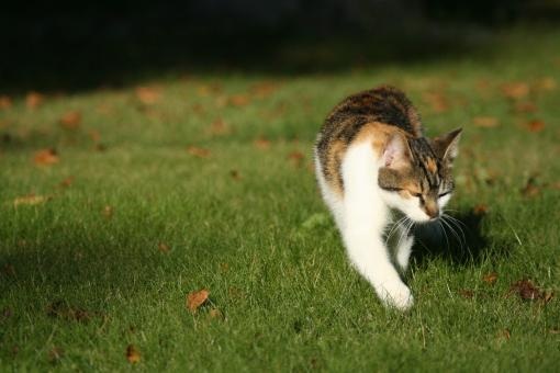 Free Stock Photo of Cat walking on grass
