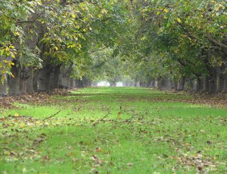 Free Stock Photo of Down the Walnut Grove of Green