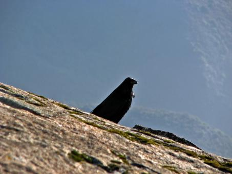 Free Stock Photo of Watchful Crow