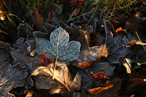 Free Stock Photo of Frozen leafs