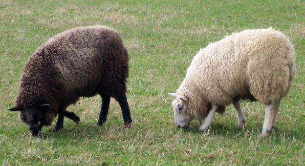 Free Stock Photo of Two bonny wee sheep