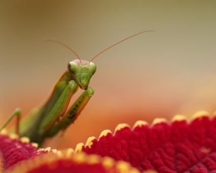 Free Stock Photo of Mantid