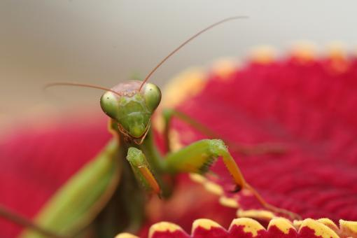 Free Stock Photo of Mantid III