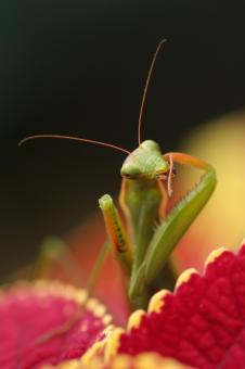 Free Stock Photo of Mantid IV