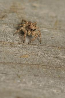 Free Stock Photo of Camouflaged Jumping Spider