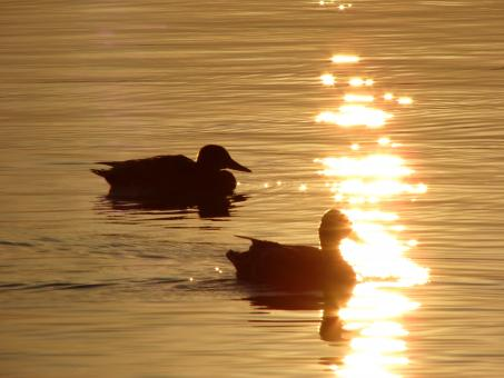 Free Stock Photo of Ducks at dusk