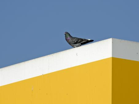 Free Stock Photo of The Line Pidgeon
