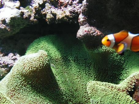 Free Stock Photo of Clownfish in Aquarium