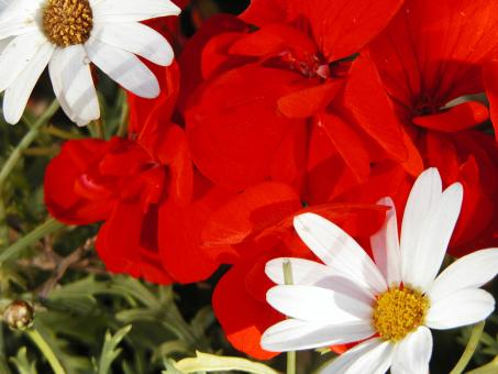 Free Stock Photo of Red and white flowers