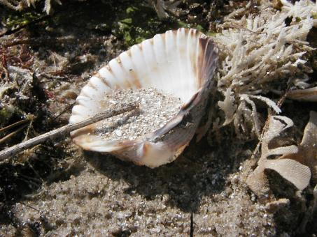 Free Stock Photo of Sea Shell