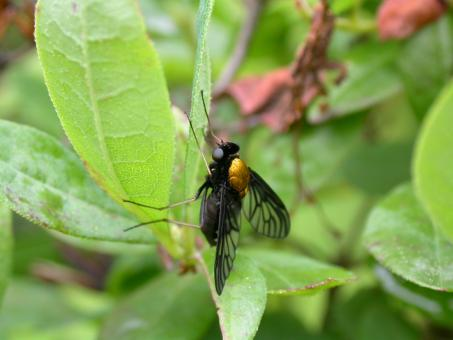 Free Stock Photo of Black fly with a golden back