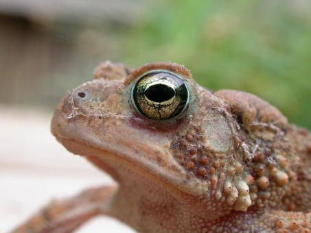 Free Stock Photo of Frog face