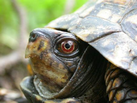 Free Stock Photo of Turtle head