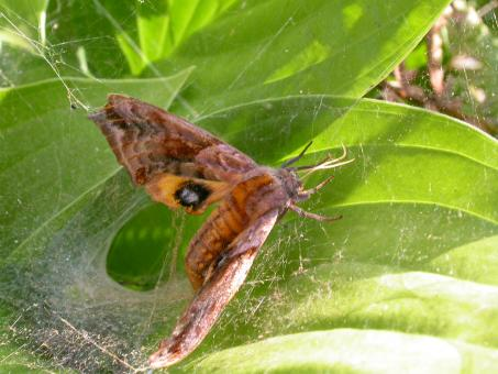 Free Stock Photo of Moth stuck in spiderweb