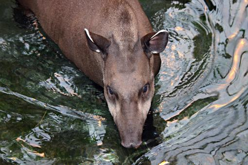 Free Stock Photo of Brazilian tapir in water