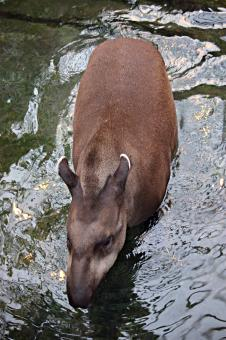 Free Stock Photo of Brazilian tapir walking in water