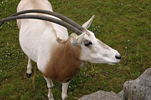 Free Stock Photo of Scimitar-horned oryx