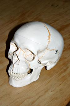 Free Stock Photo of Plastic skull