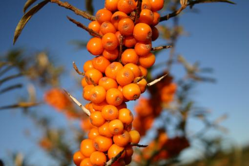 Free Stock Photo of Orange berries closeup