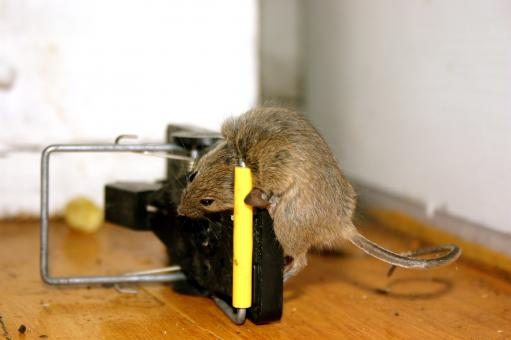 Free Stock Photo of Trapped mouse