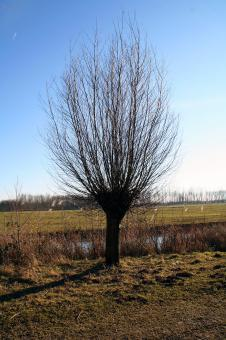 Free Stock Photo of Single willow tree