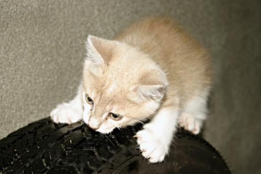 Free Stock Photo of Orange kitten