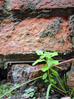 Free Stock Photo of Green plant infront of brick wall