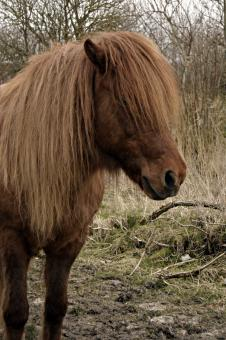 Free Stock Photo of Hairy Icelandic Horse